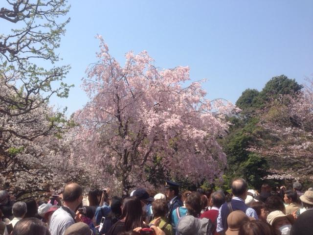 見事な枝垂れ桜