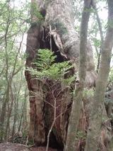 立派な杉を色々な所で見る事が出来る
